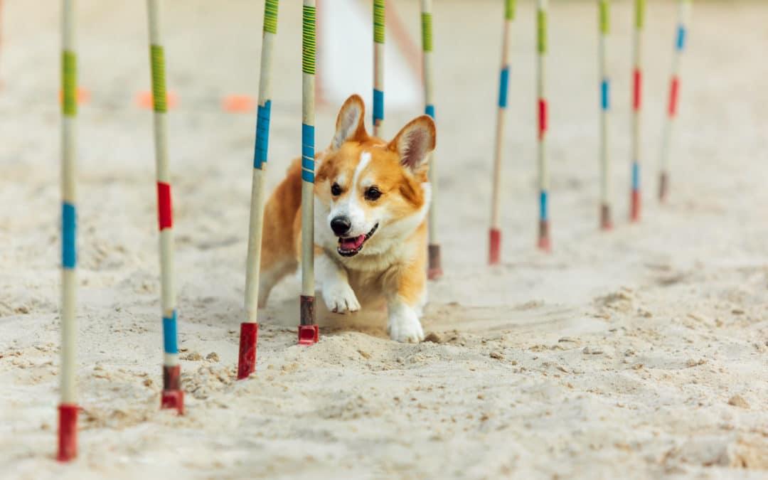 chien qui court et fait un slalom